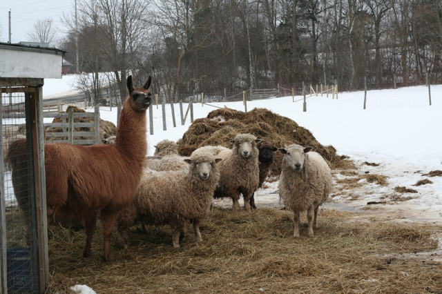 A flock of Cotswolds, plus one alpaca, all very curious about what I'm up to.