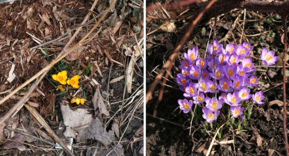 Crocuses – a sure sign of Spring.