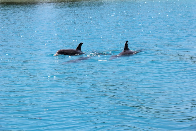 I'm avoiding family photos, since I didn't ask first, so instead I give you dolphins! These look like they're in a pool, but they're 100% wild and we saw them when leaving Spanish Wells, the cold, colonial town/island off Eleuthra's northwest side.