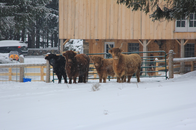 Wooly cows!
